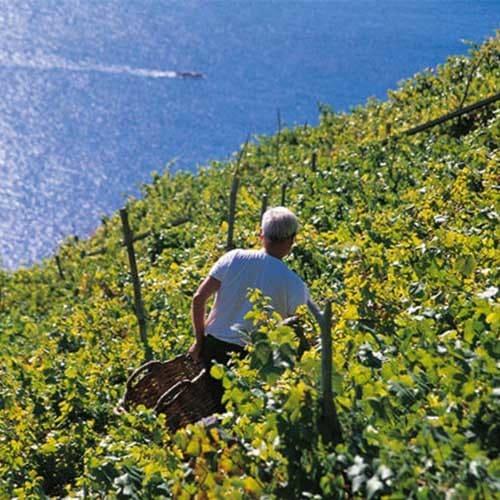 vino schiachetrá prodotto nelle 5 terre